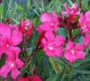 Calypso Oleander