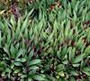 Oyster Plant Dwarf