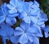 Imperial Blue Plumbago
