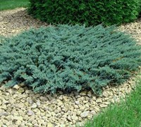 Blue Chip Juniper Picture