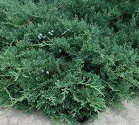 Blue Sargent Juniper Picture