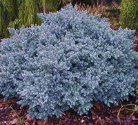 Blue Star Juniper Picture