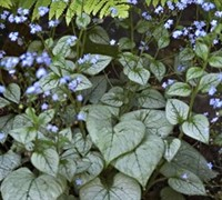 Looking Glass Brunnera Picture