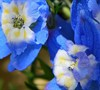 Summer Cloud Delphinium