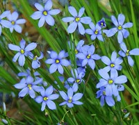 Blue Note Blue Eyed Grass Picture
