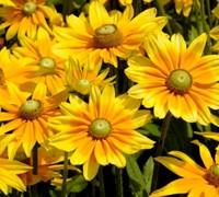 Prairie Sun Rudbeckia Picture