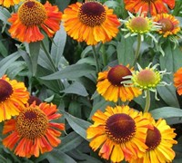 Short And Sassy Helenium Picture