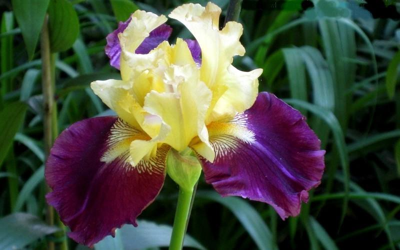 Jamaican Dream Iris Picture