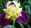 Jamaican Dream Iris Picture