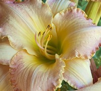 Pizza Crust Daylily Picture