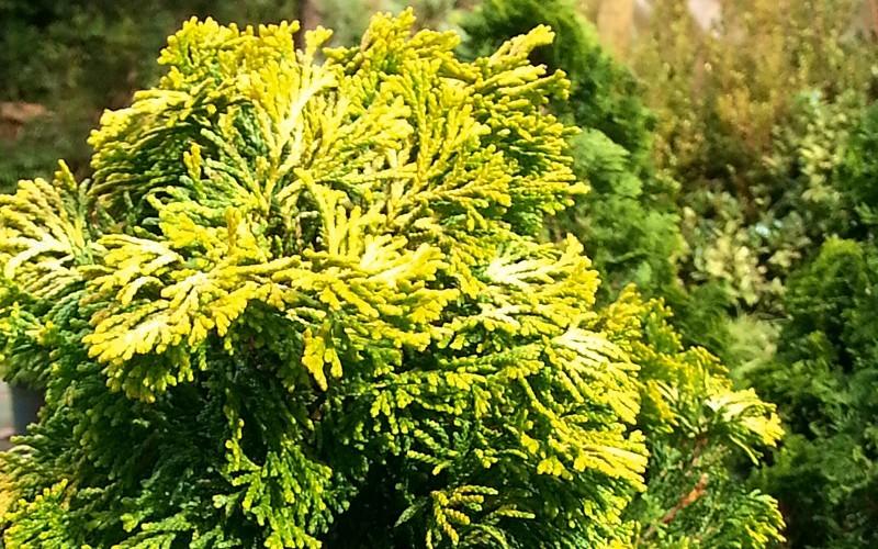 Lutea Golden Dwarf Hinoki Cypress Picture