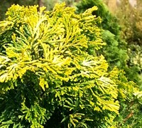 Lutea Golden Dwarf Hinoki Cypress Picture