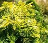 Lutea Golden Dwarf Hinoki Cypress