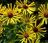 Little Henry Rudbeckia Daisy Picture