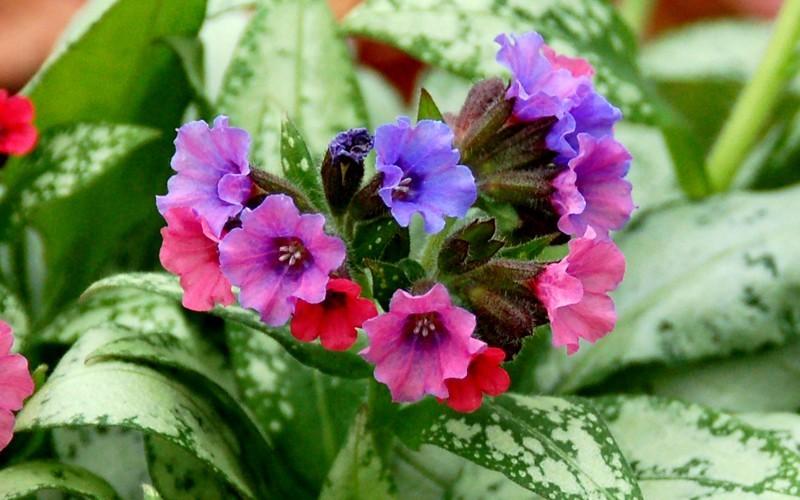 Silver Bouquet Pulmonaria - Lungwort Picture