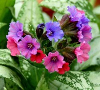 Silver Bouquet Pulmonaria - Lungwort Picture