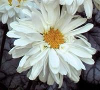 Victorian Secret Shasta Daisy-( Leucanthemum X Supurbum 'Victorian Secret') Picture