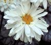 Victorian Secret Shasta Daisy-( Leucanthemum X Supurbum 'Victorian Secret')