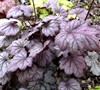 Sugar Plum Heuchera