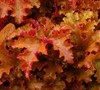 Zipper Heuchera Coral Bells