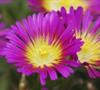 Hot Pink Wonder Ice Plant- (Delosperma 'Hot Pink Wonder')