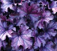 Forever Purple Heuchera-(Heuchera X Hybrid 'Forever Purple') Picture
