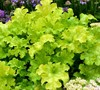 Lime Ruffles Heuchera-(Heuchera X Hybrid 'Lime Ruffles')