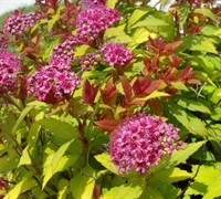 Magic Carpet Spirea Picture