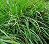 East Indian Lemon Grass