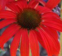 Tomato Soup Coneflower-(Echinacea 'Tomato Soup') Picture