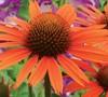 Dixie Blaze Orange Coneflower-(Echinacea 'Dixie Blaze')