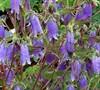 'Summertime Blues' Bellflower-(Campanula Punctata 'Summertime Blues')