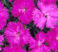 Neon Star Dianthus Picture