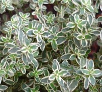 Silver Lemon Thyme Picture