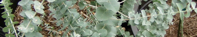 How To Prune A Eucalyptus Plant Or Tree