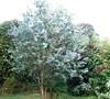 'Big O' Eucalyptus Omeo Gum