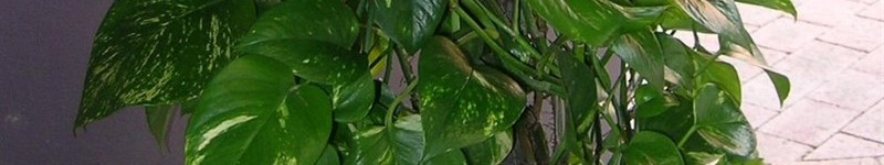 Heart-leaf Philodendron Leaves