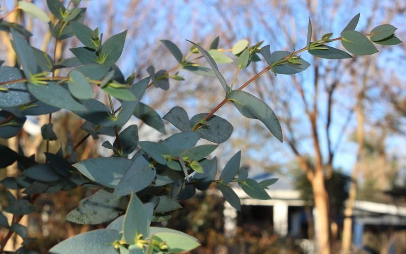 Sheila Black Sallee Eucalyptus Stellulata Picture