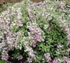 Variegated Weigela Picture