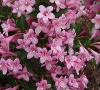 Pink Poppet Weigela Picture