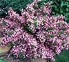Pink Poppet Weigela