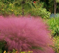 Fast Forward Muhly Grass Picture