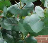 'Big O' Eucalyptus Omeo Gum Picture