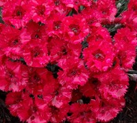 Fire Star Dianthus Picture