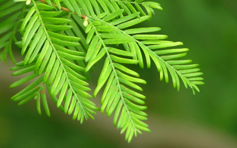 Dawn Redwood Picture