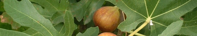 How To Plant And Grow A Fig Tree