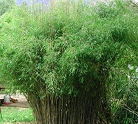 Blue Fountain Clumping Bamboo Picture