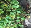Picture about Cherry Laurel With Yellow Leaves After Transplanting And Moving