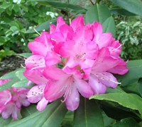 Southgate Radiance Rhododendron Picture
