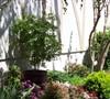 Green Japanese Maple-Acer palmatum